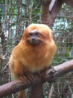 Golden Lion Tamarin by JennHolton