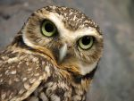 Burrowing Owl by DingoDogPhotography
