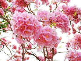 Pinkish Spring by samnouvelle