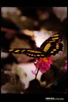 butterfly 1 by Fernandy