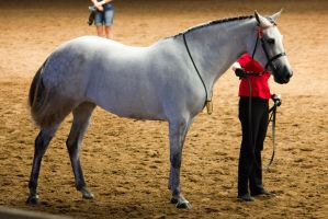 STOCK - 2014 Andalusian Nationals-46 by fillyrox