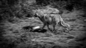 wolf running by Oberon7up