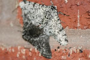 Peppered moths by Gothic-Enchantress