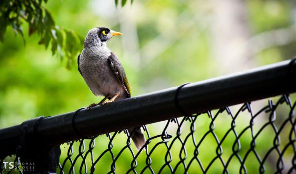 Indian Myna 4 by Tom-Stokes