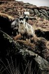 Galloway Wild Goats by Coigach