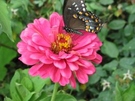 Spicebush Swallowtail II by curiousused