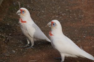 Long-billed corellas by sootyalbatross