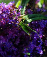 Speckled Bush Cricket 5 by Forestina-Fotos