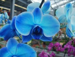 Blue orchid by samybenenny