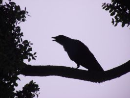 Crow silhouette by Armadeo