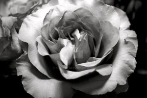 A Rose is but a Rose... by RTurley