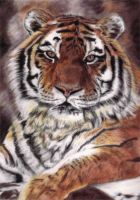 Tiger in pastels by Acaciacat