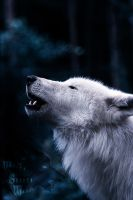 Arctic Wolf.:.Same Song by WhiteSpiritWolf