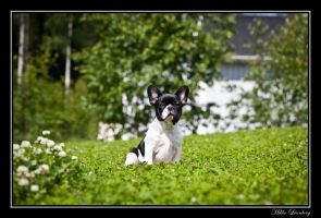 french bulldog 13 by mikkolo77