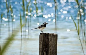 Wagtail by the lake by ju1iu5
