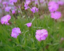 Pink Dianthus by miss-masami