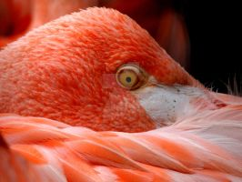 American Flamingo by thisaintmyday