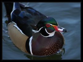 Wood Duck by oOBrieOo