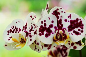 Orchid flowers 5 by a6-k