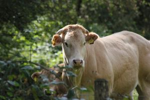 Beautiful cow by JetteReitsma