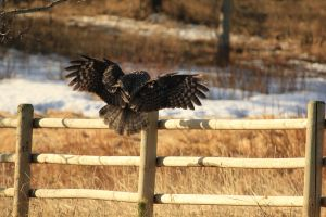 Great Grey Owl Landing by sgt-slaughter