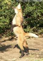 Maned Wolf Pup standing - JFR by leopatra-lionfur