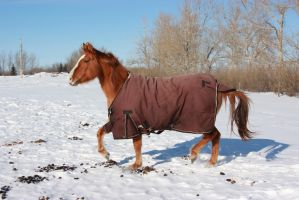 Blanketed horse trotting through snow by eluhfunt-stock