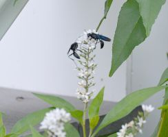 Giant Black Wasps, Sharing Nectar 2 by Miss-Tbones