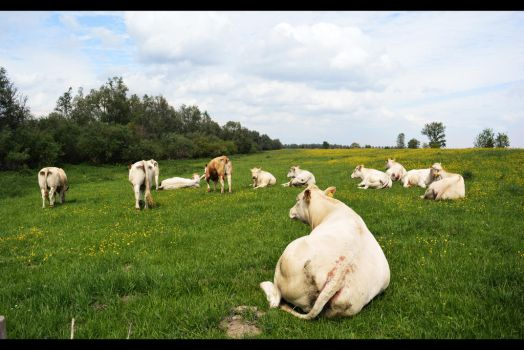 Cows by navalons