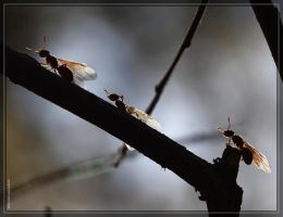 Ants 40D0029766 by Cristian-M