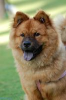 chow chow by nogisu