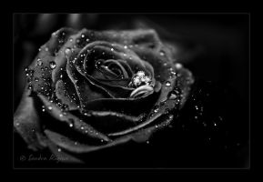 Black rose by Behindmyblueeyes