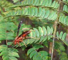 Red Wasp by Motorhed