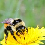 Busy Bumblebee by musicismylife10027