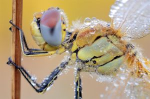 red veined darter by MartinAmm