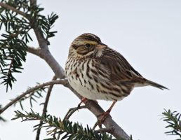 Savannah Sparrow by barcon53