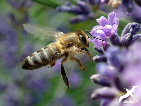 Bee And Lavender by albatros1
