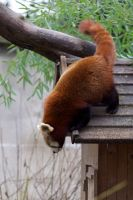 Red Panda 01 Stock by lokinststock