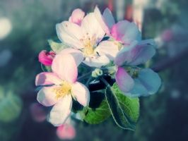Apple Flowers by MikeMS