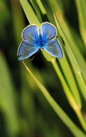 Butterfly blu by ajjadesa