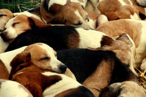 Bundle of Beagles by pinksponge