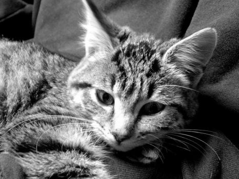 black and white kitten by Soledad72