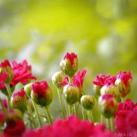 flowers by ExtraoridnaryGirl