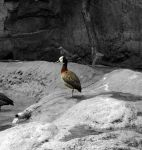 White-faced Whistling Duck in Touch of Color by AlgeriArts