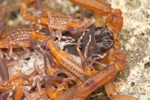 Mother Spotted House Scorpion by melvynyeo