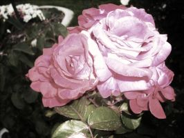 Faded Roses by VirginiaRoundy