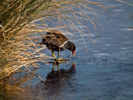 Moorhen - Feb 12 by mszafran