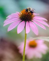 Bumble Bee on a Daisy by Strange-1