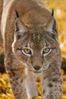lynx VII by moem-photography