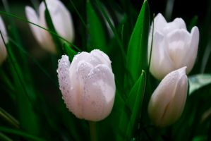 white tulips by Azraelia